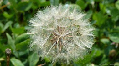 "Goat's-beard seed ""clock"" (Tragopogon pratensis)"