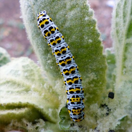 Caterpillar of the Mullein Moth (Cucullia verbascum) on leaf of the Great Mullein plant (Verbascum thapsus)
