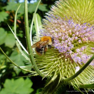Flowering wild teasel with bee