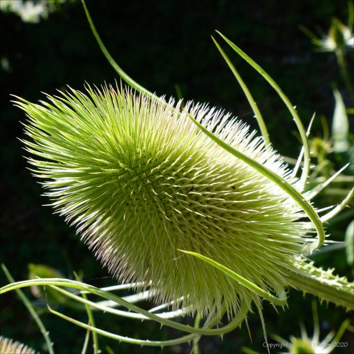 Mature wild teasel flower head not in bloom
