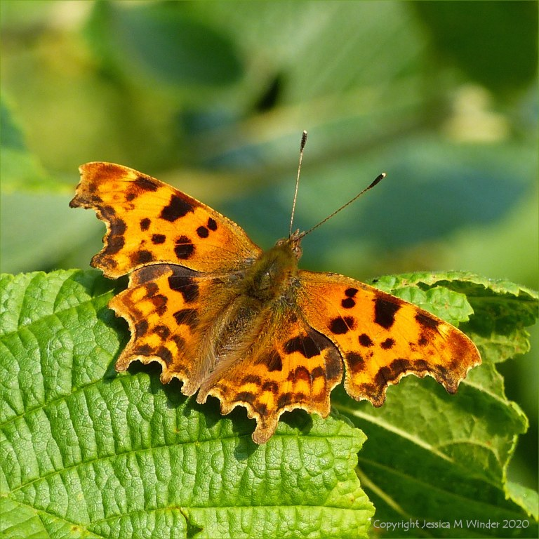 Upper wing surfaces of the Comma Butterfly