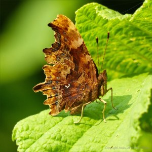 Lower wing surface of the Comma Butterfly
