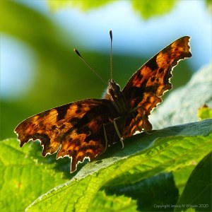 Sun shining through the wings of a Comma Butterfly from behind