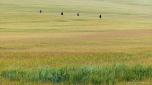 Barley field with sun-scorched whiskers