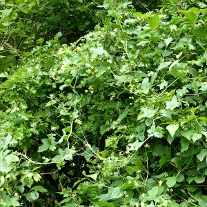 White Bryony flowers
