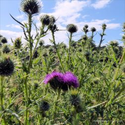 Double-headed thistle flower