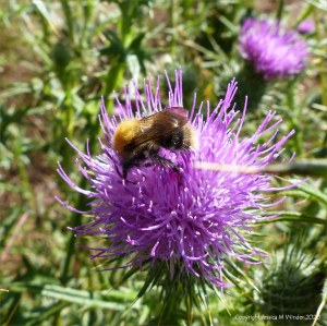 Normal single-headed thistle flower