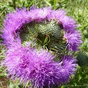 Multiple-headed thistle flower