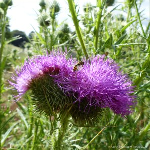 Multiple-headed thistle flower