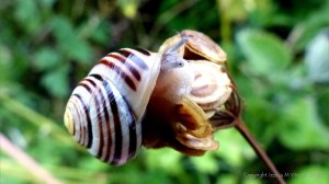 Common British snails