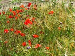 Wild poppies in a barley field