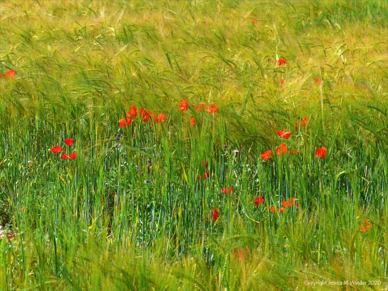 Wild poppies in a barley field