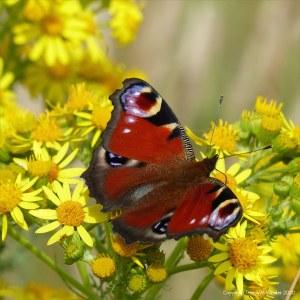 Peacock butterfly on ragwort