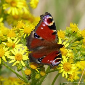Peacock butterfly on ragwort