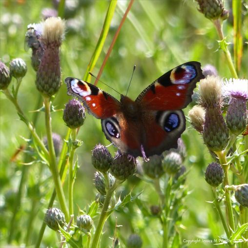 Peacock butterfly on thistles