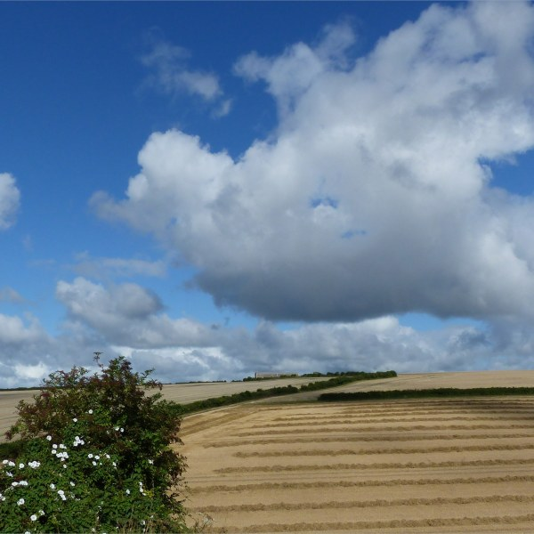 Harvested wheat fields at Charlton Down
