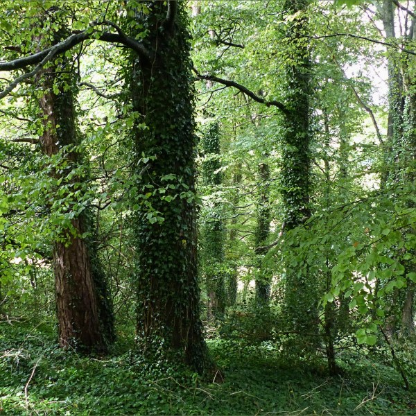 Trees in a narrow woodland belt between fields