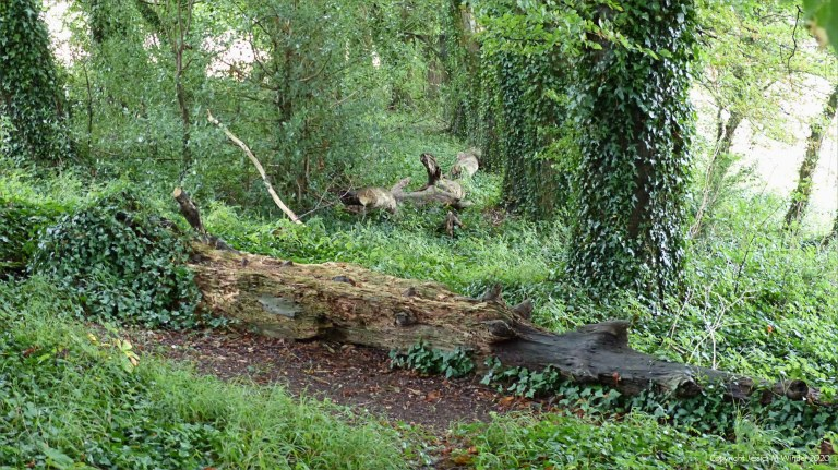 Fallen trees across animal trail in the woods