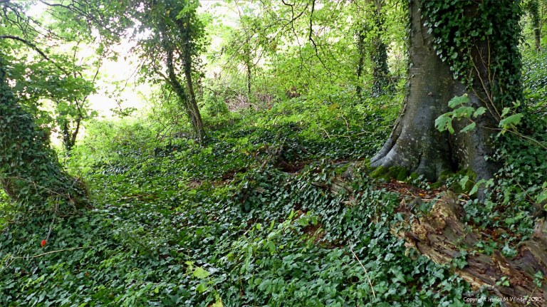 Woodland floor covered with ivy