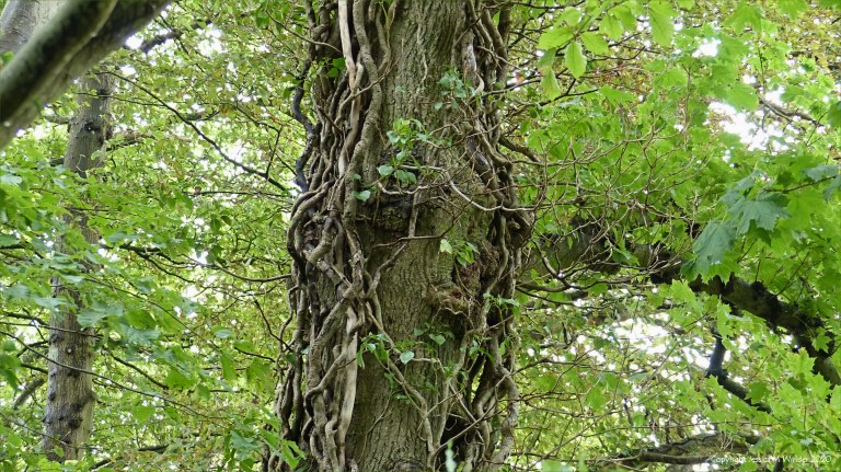 Detail of ivy-clad tree in a wood