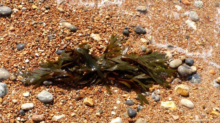 Fucoid seaweed washed ashore
