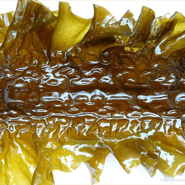 Natural pattern and texture in Sugar Kelp