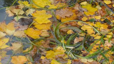 Autumn leaves floating on a lake