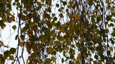 Autumn leaves on birch tree
