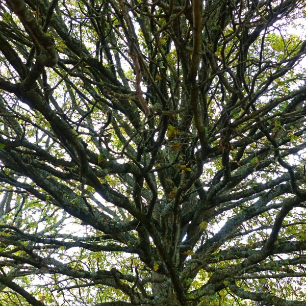 Looking up into bare branches of a tree