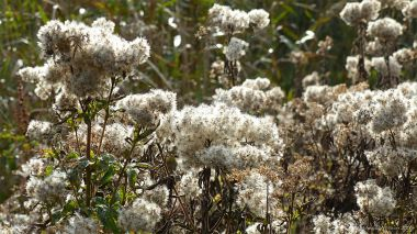 Seed heads of riverbank plants