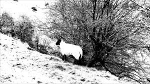Sheep grazing on hillside