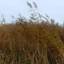Lakeside reed beds in autumn