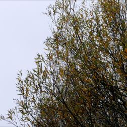 Autumn willow leaves on the tree