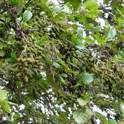 Autumn alder leaves and cones