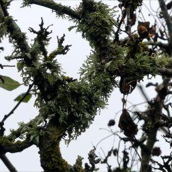 Lichens on branches