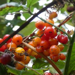 Red berries of White Bryony