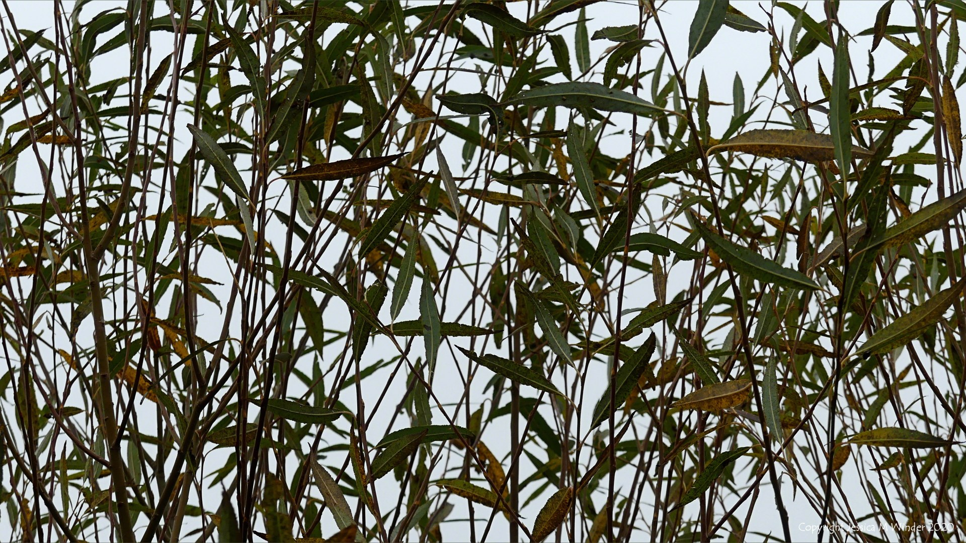 Willow leaves in autumn
