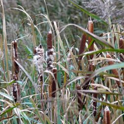 Lakeside reed beds in autumn with bulrushes