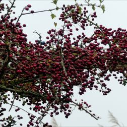 Red berries on hawthorn in autumn
