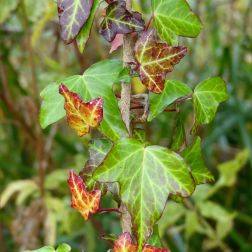 Ivy leaves changing colour in autumn