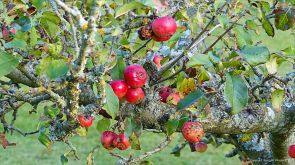Apples rotting on orchard trees