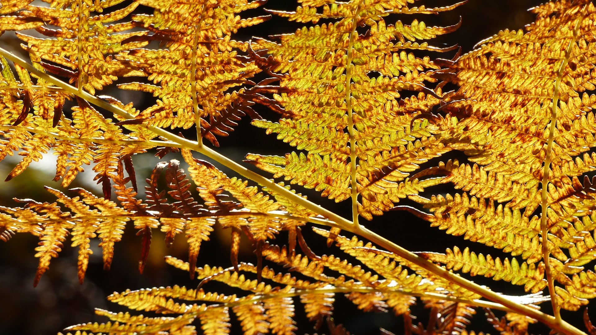 Bracken at Arne in autumn