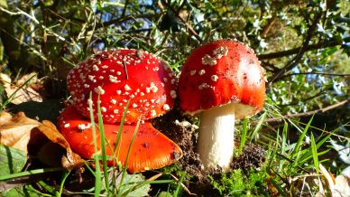 Red toadstools on an autumn walk in Dorset woodland