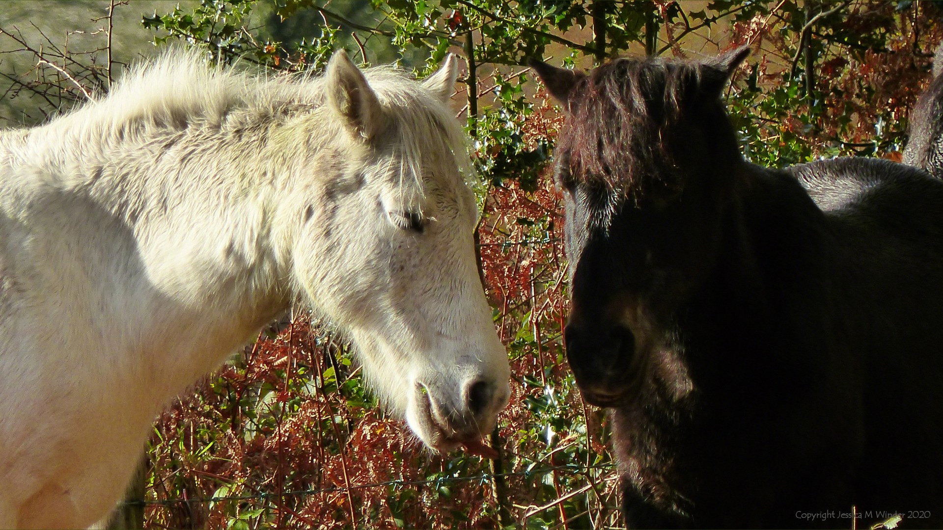 Picture with wild ponies from from an autumn walk in Dorset woodland