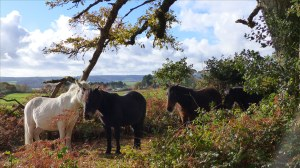 Picture with wild ponies from an autumn walk in Dorset woodland