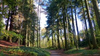 Picture with conifers from an autumn walk in Dorset woodland