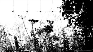 Black and white image of field boundary plants