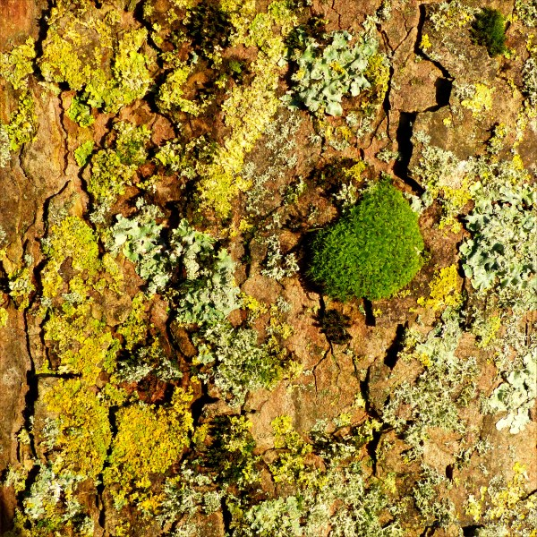 Lichens on tree bark