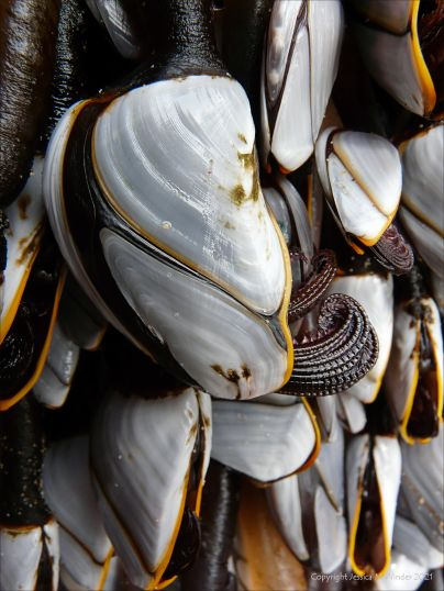 Close-up of goose barnacles on flotsam washed ashore