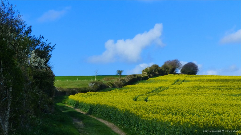 Ancient hedgerow by field of yellow flowering rape